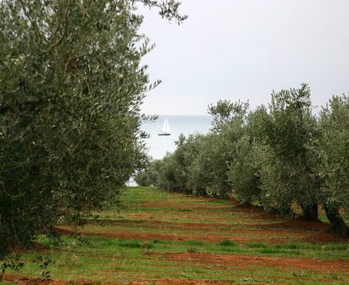 One of the largest investments in the Agrokor Group's agricultural sector was a restoration and planting of close to 350 ha of completely new vineyards in Istria, as well as almost 100 ha of new olive groves.
