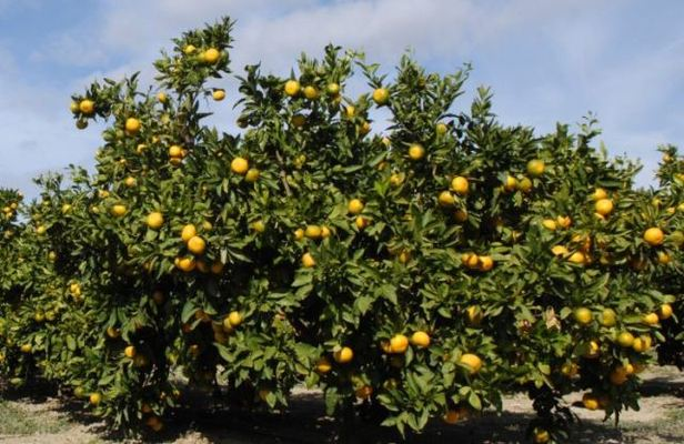 Baranya kulen and Neretva mandarins receive protected Geographical Indication and authenticity status